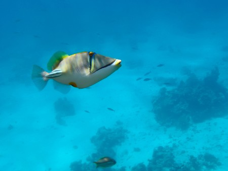 trigger: Red sea trigger fish at cyan background Stock Photo
