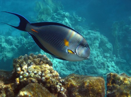 sohal: Striped Sohal Surgeonfish swimming under the  reef in Red Sea, Egypt.