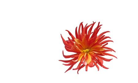 Abstract dahlia flower wallpaper. Isolated on white background