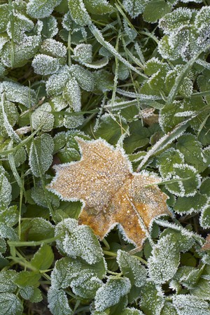 close-up of dry leaves with rime.