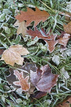 close-up of dry leaves with rime. Stock Photo - 7473246