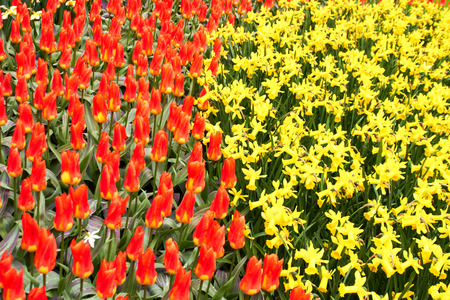 red Tulips and yellow narcissus  in Keukenhof Flower Garden, cool spring day, Netherlands