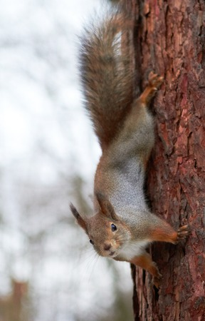 face in tree bark: squirrel upside down on a tree in the  winter forest Stock Photo