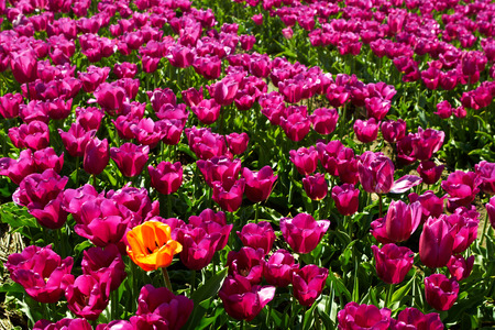 background of tulips field different colors in Holland One yellow orange tulip among violet ones bright sunny day Stock Photo