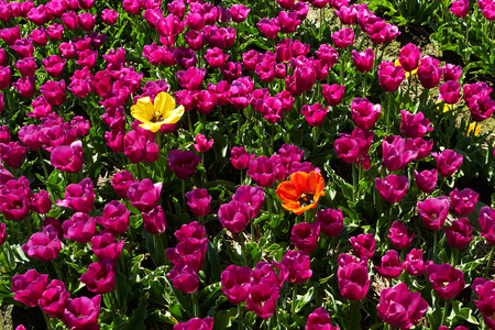 background of  Two different  yellow and red tulips among violet ones bright sunny day Stock Photo
