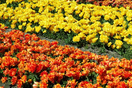 background of Field full of red and yellow tulips in bloom bright sunny day