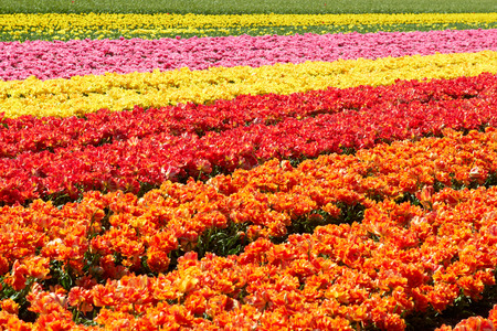 background of tulips field different colors in Holland bright sunny day