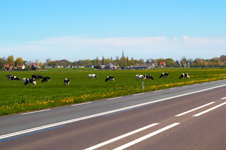 dutch typical: Typical dutch landscape with cows farmland and a farm house bright sunny day
