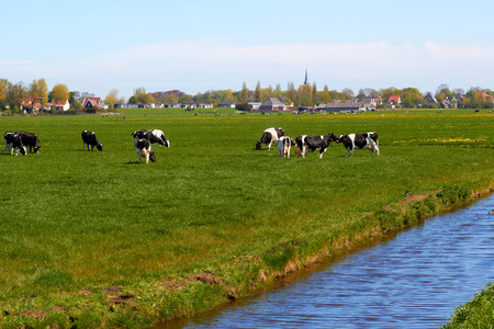 dutch typical: Typical dutch landscape with cows farmland and a farm house bright sunny day