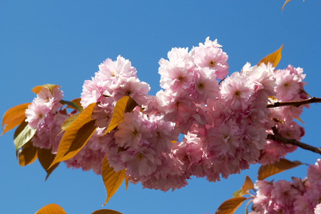 Blooming tree in spring with pink flowers closeup