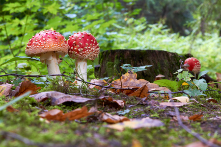 Fall at the forest with a Amanita muscaria fly agaric growing in stub