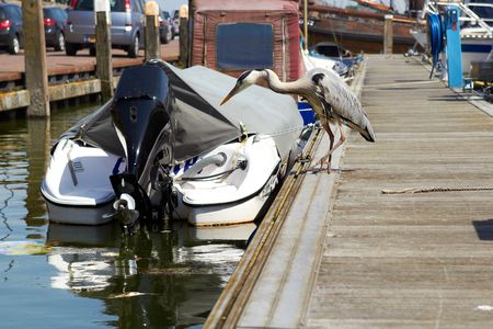 Gray heron searching for fish on a pier near boat in marina.