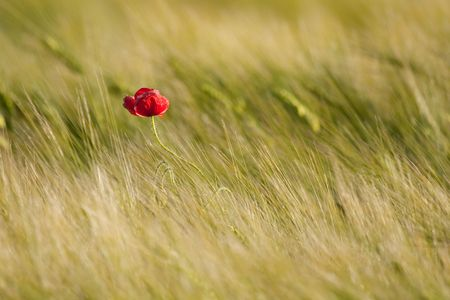 Single poppy in the field photo