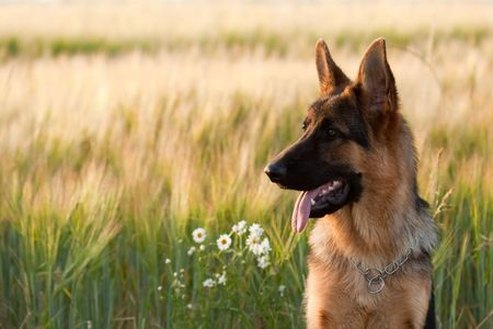 German shepherd in front of wheat field and flowers.  Фото со стока