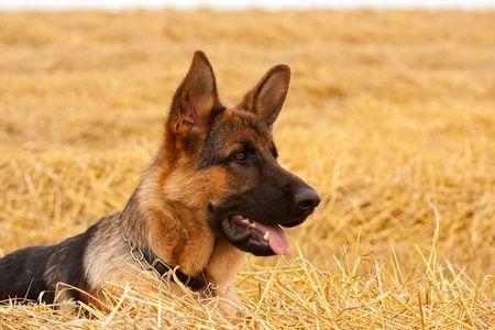 German Shepherd playing in the field Stockfoto