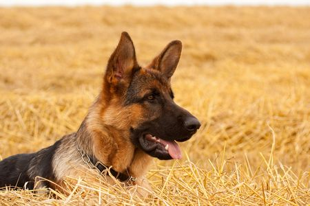 german shepherd on the grass: German Shepherd playing in the field Stock Photo