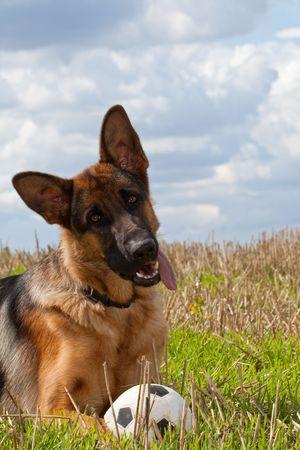 German Shepherd Archivio Fotografico