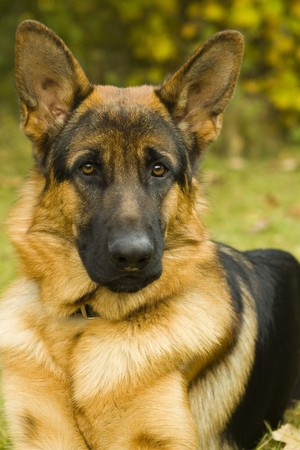 german shepherd on the grass: German Shepherd Stock Photo