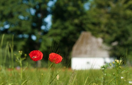 Poppies in a field with old farm in the background.