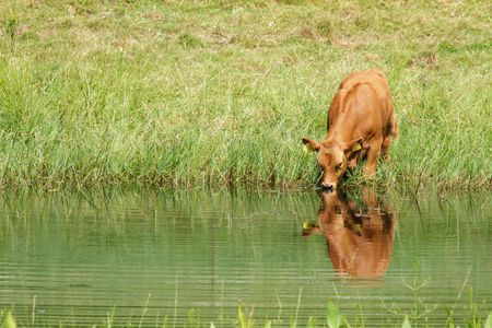 Cow dringing water from the pond
