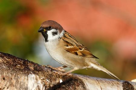 tree sparrow Archivio Fotografico