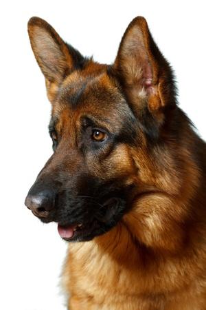 german shepherd dog: German Shepherd - white background