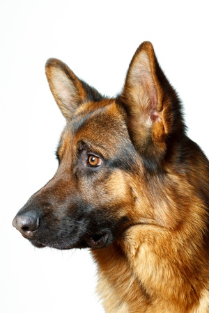 German Shepherd - white background photo