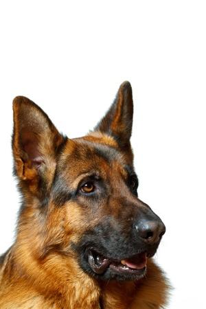 German Shepherd - white background