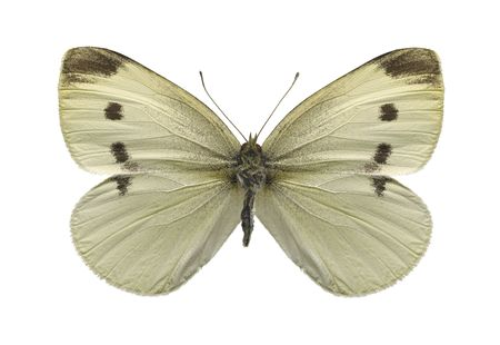 Cabbage white butterfly  photo