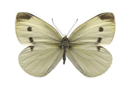 Cabbage white butterfly Zdjęcie Seryjne - 6570887