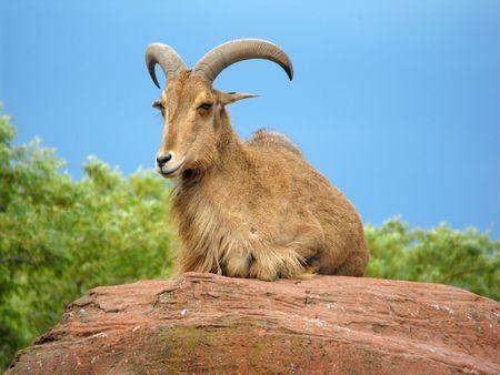 west caucasian tur goat Stock Photo - 6570885