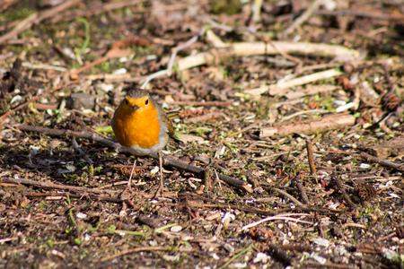 robin bird hidding in tree nature wallpaper background