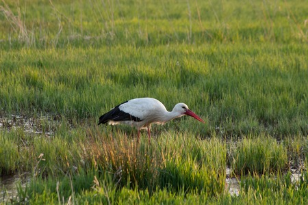 white stork eating in swamp field, spingtime Фото со стока