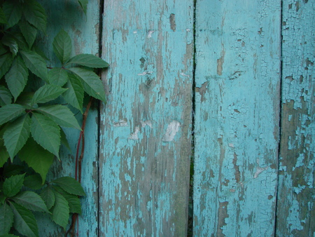 Blue aquamarine wooden background with ivy tree - Painted old wood facade with climbing green ivy plant - Vintage house front with weathered fence and evergreen foliage