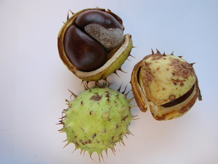 Horse chestnut in shell, close-up, on white. Natural fruit background, macrophoto