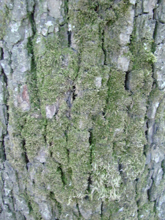 Bark of an old tree with moss, close-up, background for an inscription, texture Stock Photo