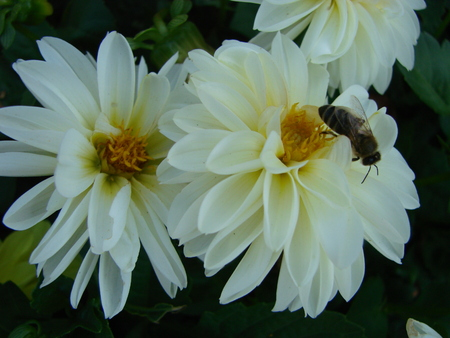 Dahlia Pinnata, Dahlia Floweris a species in the genus Dahlia, family Asteraceae, with the common name garden dahlia. It is the type species of the genus and is widely cultivated. Stock Photo