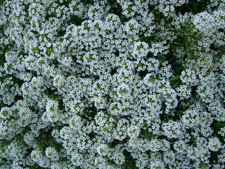 Petite snow white mauve flowers of Lobularia maritima Alyssum maritimum, sweet alyssum or sweet alison, alyssum genus Alyssum is a species of low-growing flowering plant in family Brassicaceae. Standard-Bild
