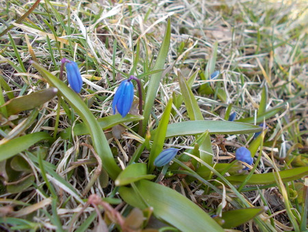 Siberian squill Scilla siberica or blue snowdrop in the forest.