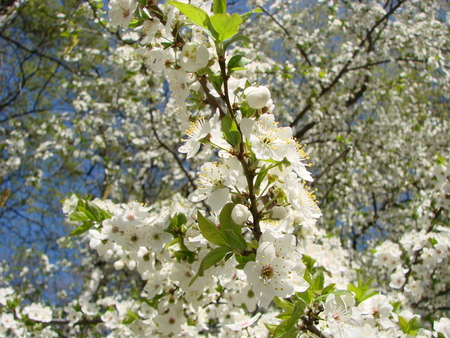 Floral spring background. Branches of blossoming bird-cherry (Prunus padus) in spring outdoors. Delicate elegant airy artistic image of spring.