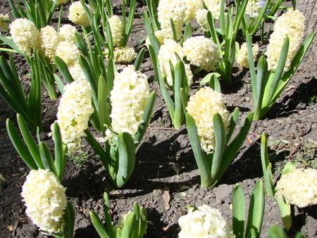 beautiful white hyacinth in garden