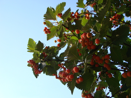 Rowan berries, Mountain ash tree with ripe berries and green leaves. Branch of mountain red ash, ashberry with leafs on sky background.