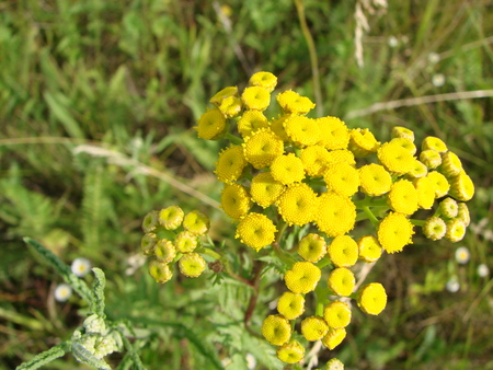 Tanacetum vulgare in the green summer meadow. Wildflowers tansy yellow background. Yellow flowers close up. Tanacetum vulgare common tansy is a medical herb. 写真素材