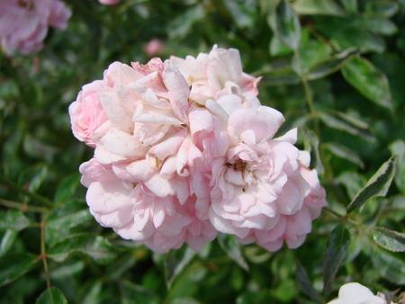 Beautiful Japanese Camellia pink flowers, dark moody petal background, delicate floral rose background. Symbol of spring. Scene at a secret garden.