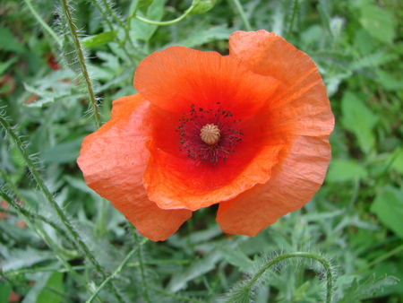 Red poppy flowers on the field as symbol for Remembrance Day. Bright flower Imagens