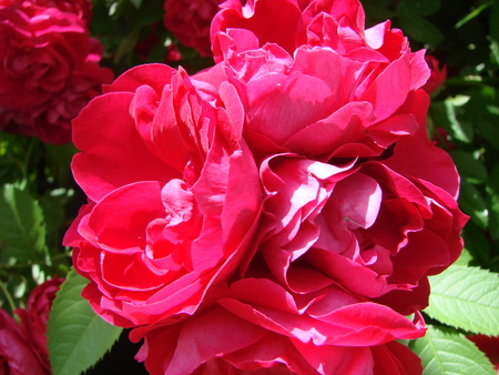 Curly red rose, huge inflorescences, garden, spring, summer