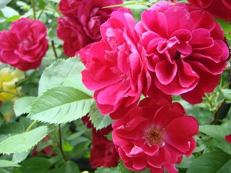 Curly red rose, huge inflorescences, garden, spring, summer