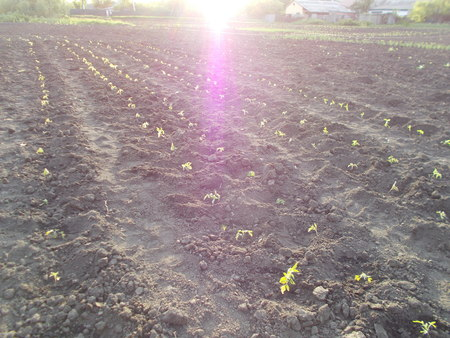 Seedlings of tomatoes grow in the ground in early spring Stock Photo
