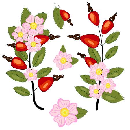 Set of dog rose. Vintage botanical hand drawn illustration of briar flowers, buds, berries and leaves Illustration