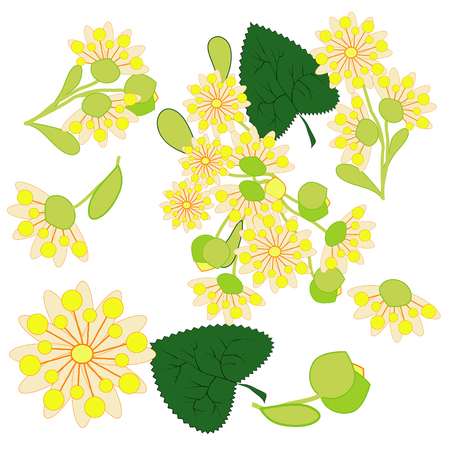 Hand drawn illustration of linden flowers, source of delicious honey and a fragrant herbal tea ingredient